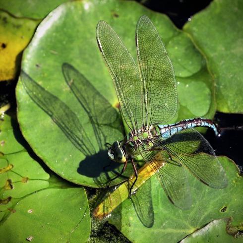 Libelle Botanischer Garten Bonn