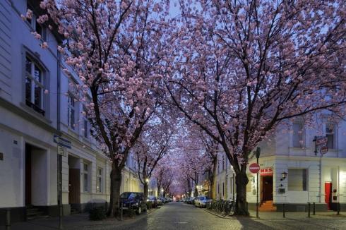 Kirschblüte Bonn Altstadt Heerstraße 2013 (3)