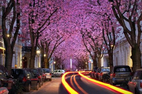 Kirschblüte Bonn Altstadt