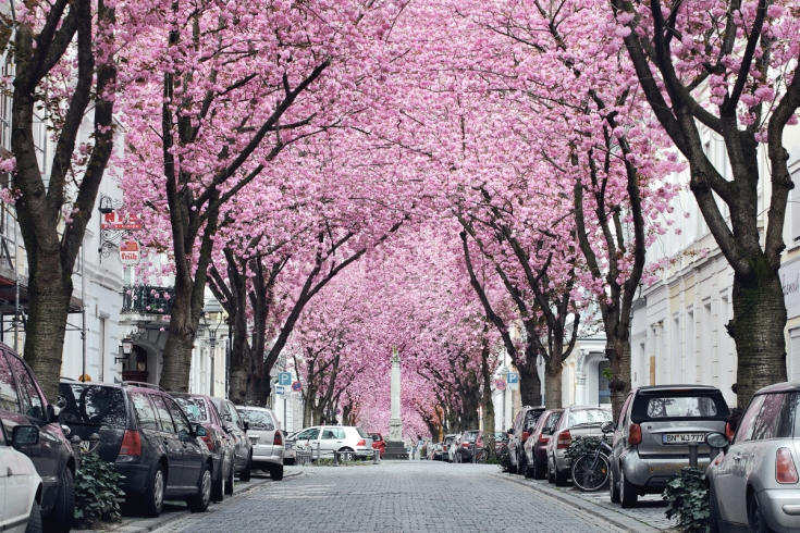 Kirschblüte Bonn  Heerstraße