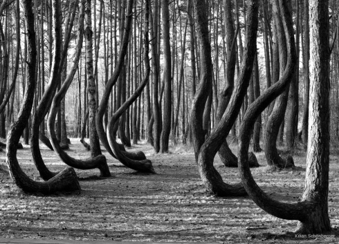 Krummer Wald Krzywy Las crooked forest (1)