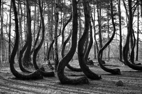 Krummer Wald Krzywy Las crooked forest (2)