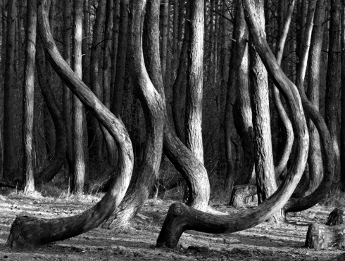 Krummer Wald Krzywy Las crooked forest (4)