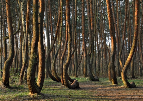Krummer Wald Krzywy Las crooked forest (6)