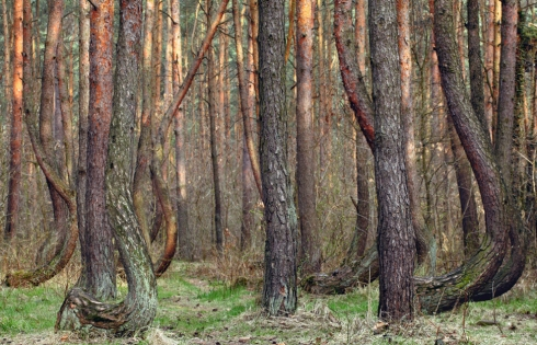 Krummer Wald Krzywy Las crooked forest (7)