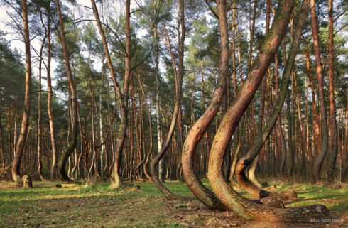 Krummer Wald Krzywy Las crooked forest (8)