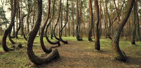 Krummer Wald Krzywy Las